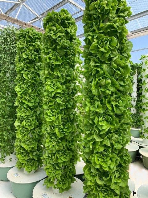 Butterhead Bib Lettuce Photo.jpg