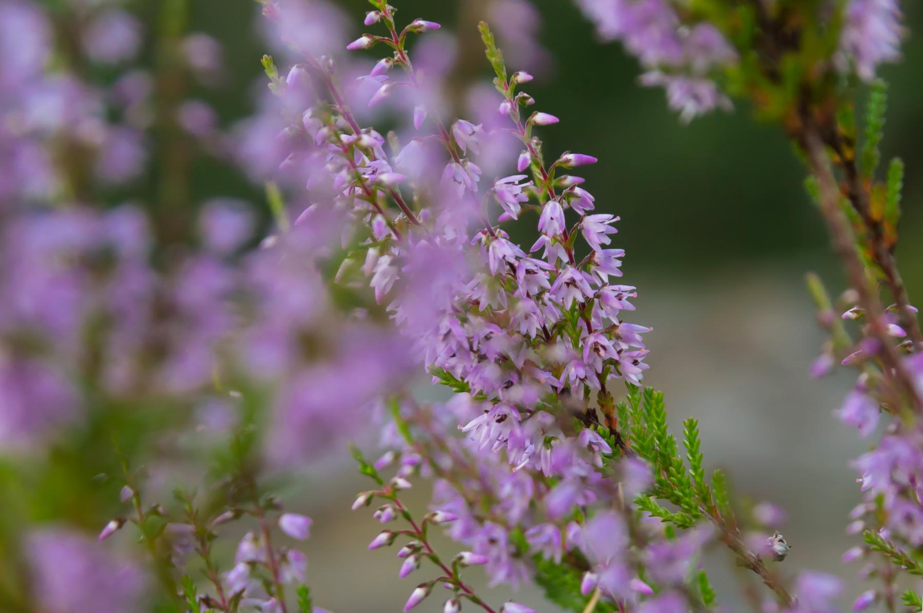 Flower_plant_depth of field_purple