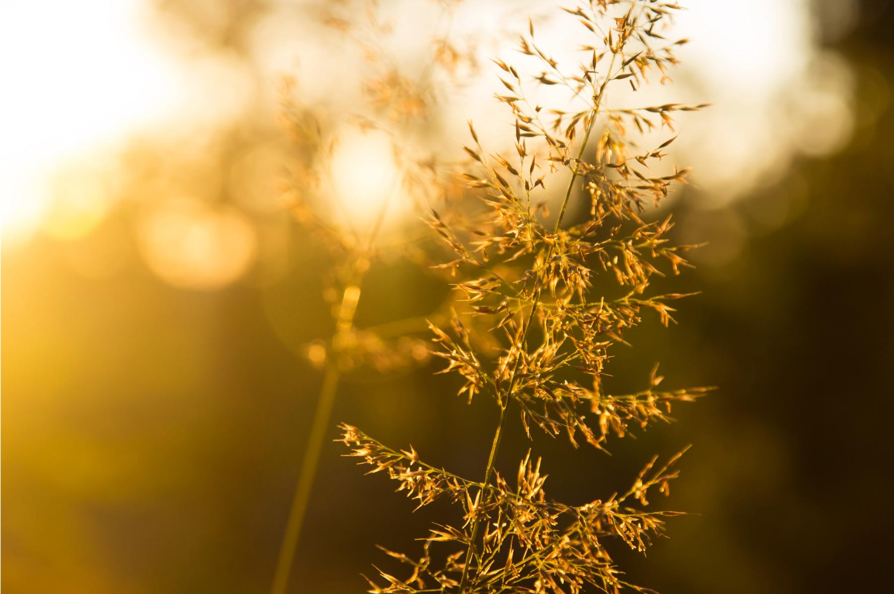 plant_golden_sunset_contrast_depth of fi