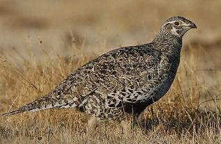 Female sage grouse