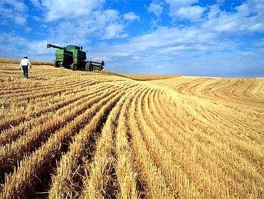 Wheat field with a green combine and a producer