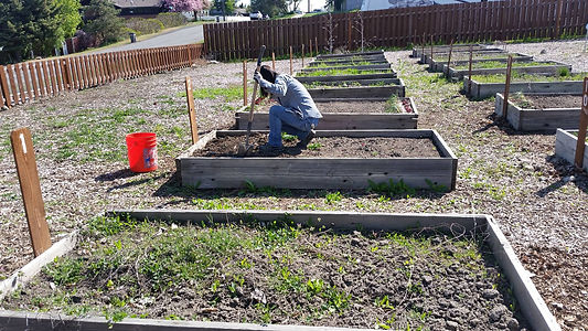 Digging in the old community garden