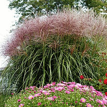 red-silver-maiden-grass-in-the-garden-60