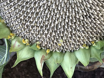 growing-sunflower-seeds.jpg