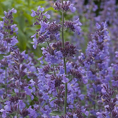 nepeta_walker_s_low_cropped_shutterstock