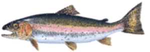 sMALL SALMON.png