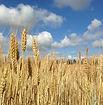 Wheat field blue sky