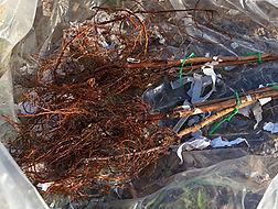 8764-bare-root-plants.jpg