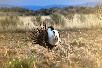 Sage grouse with chest puffed out