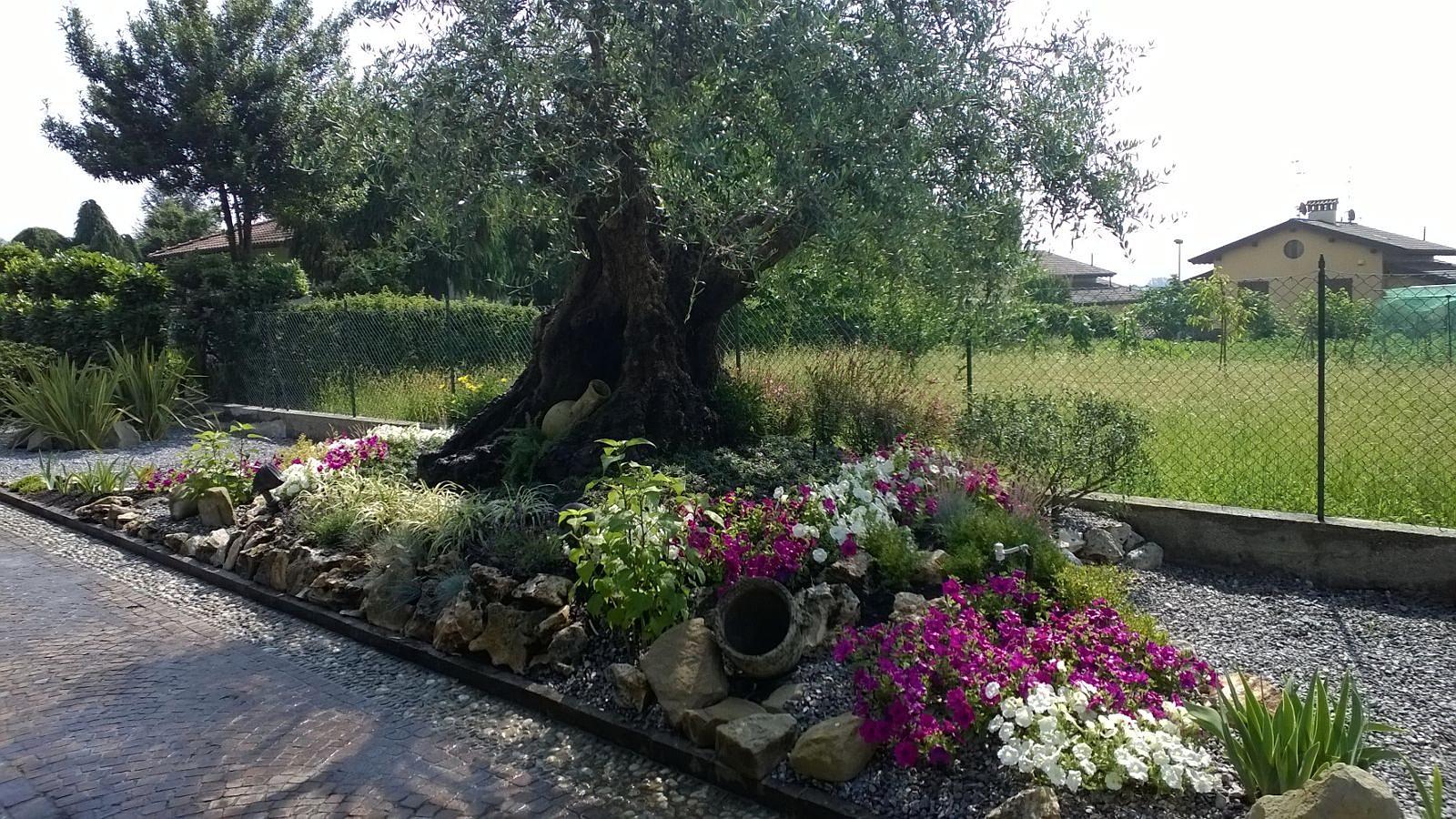 Oasi giardini giardiniere monza e brianza ulivo con for Aiuola con ulivo