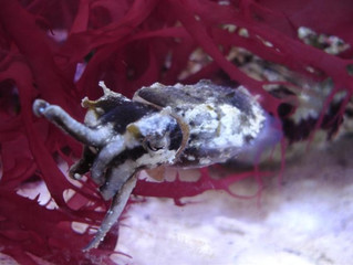 Flamboyant Cuttlefish Breeding Project (Metasepia pfefferi)