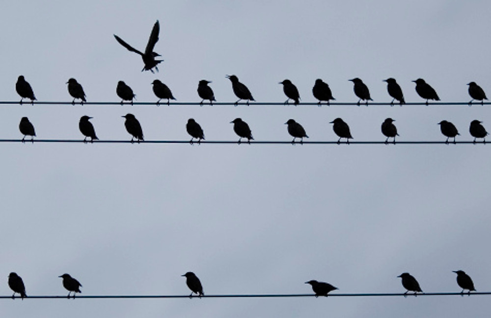 Birds sit on a telephone wire image credit (Michael Buholzer/Reuters)