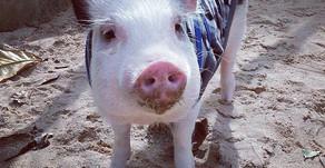 Baby - Um porco adorável