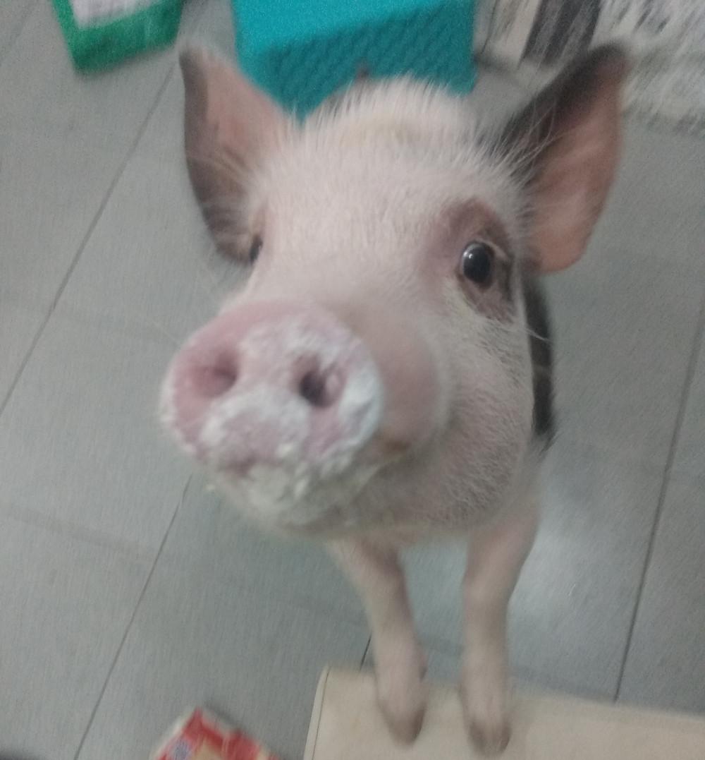 porco de estimação