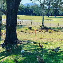 Chickens on Pasture Meandering Farm.jpeg