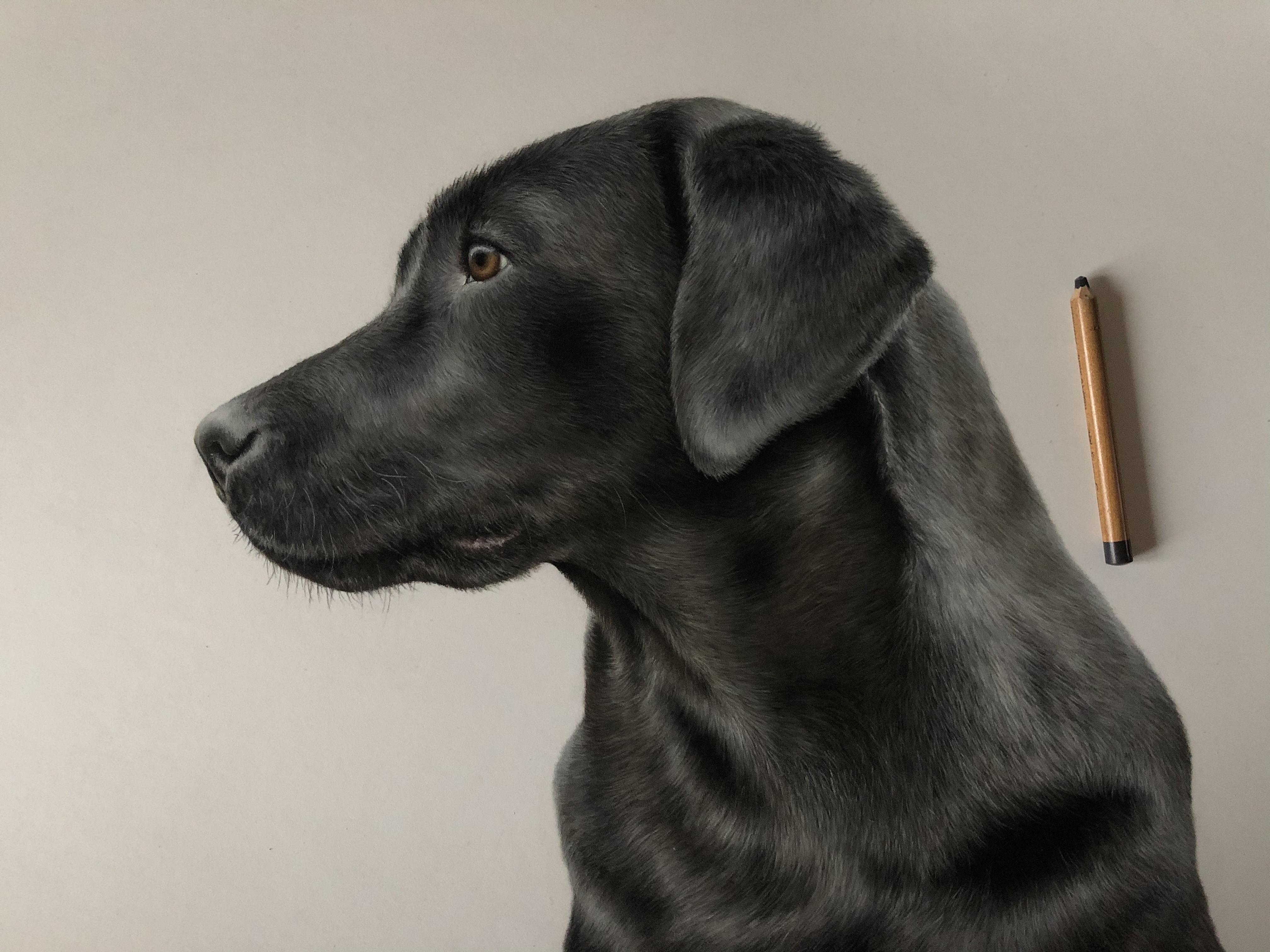 Labrador study SOLD