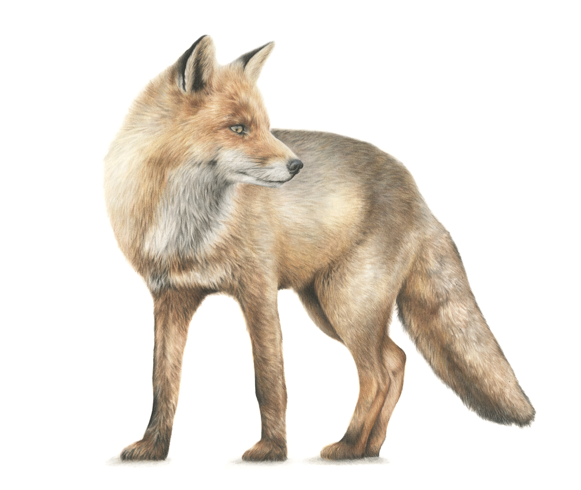 Study of the Fox