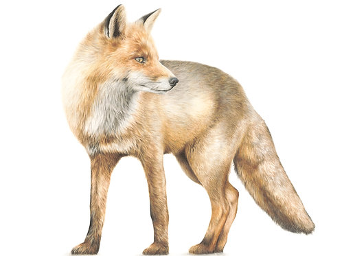Study of the Fox