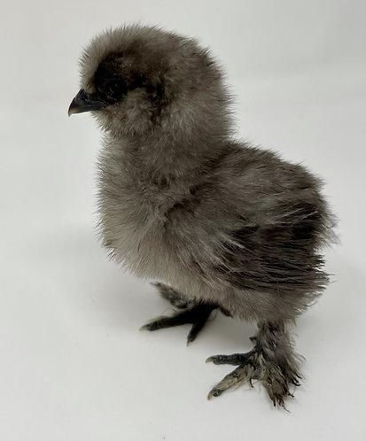 1 Week Old Bantam Silkie Chicks