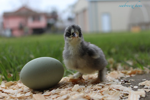 1 month old Colored Egg Layers Pullet Chicks - September 17 Batch