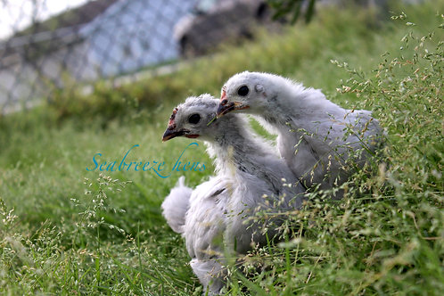 6 Week Old Laying Breed Pullets