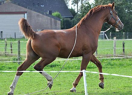 Paard trekt zich los en rent weg