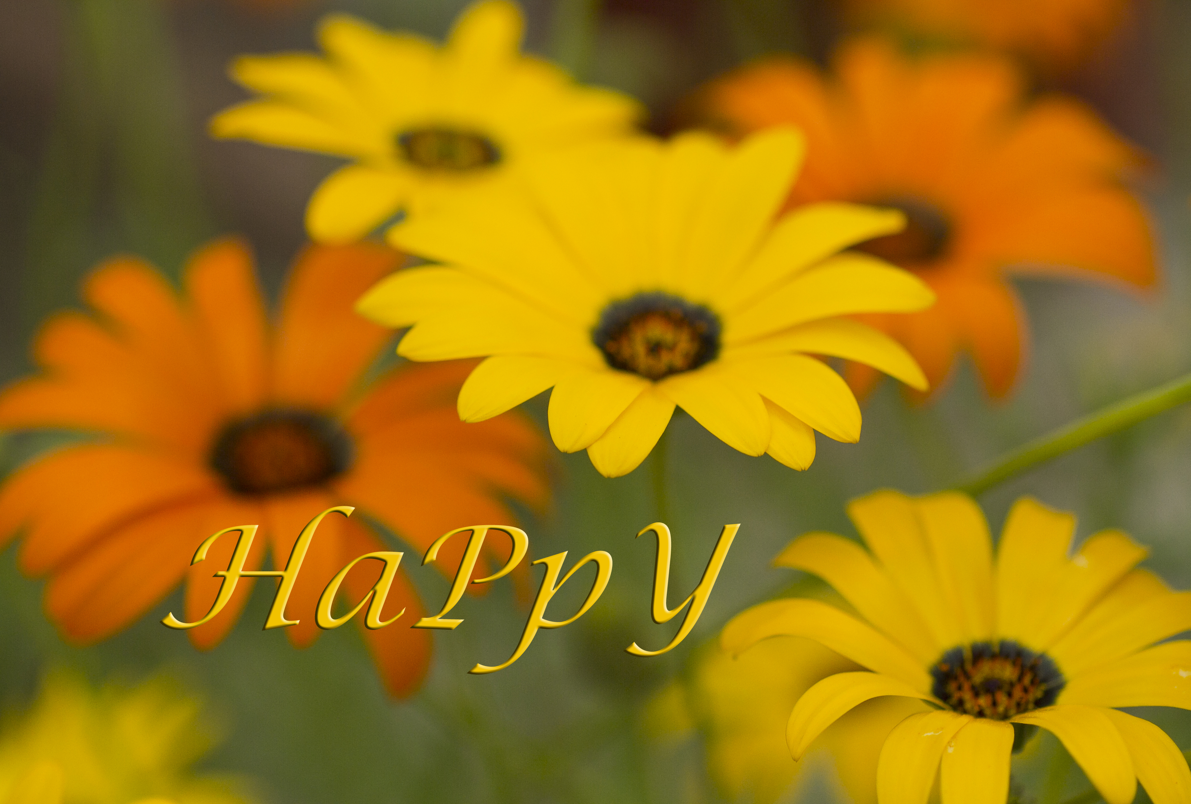 HAPPY AFRICAN DAISY REV1