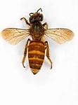 Apis Cerana - Asian Hony Bees