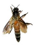 Apis Dorsata - Wild Giant bees