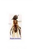 Trigona Stingless Bee