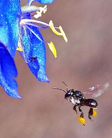 trigona stingless bee collecting nectar for beema honey