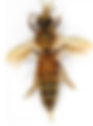 Apis Melifera - European Honey Bee