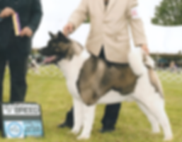 Large bone american akita top winner