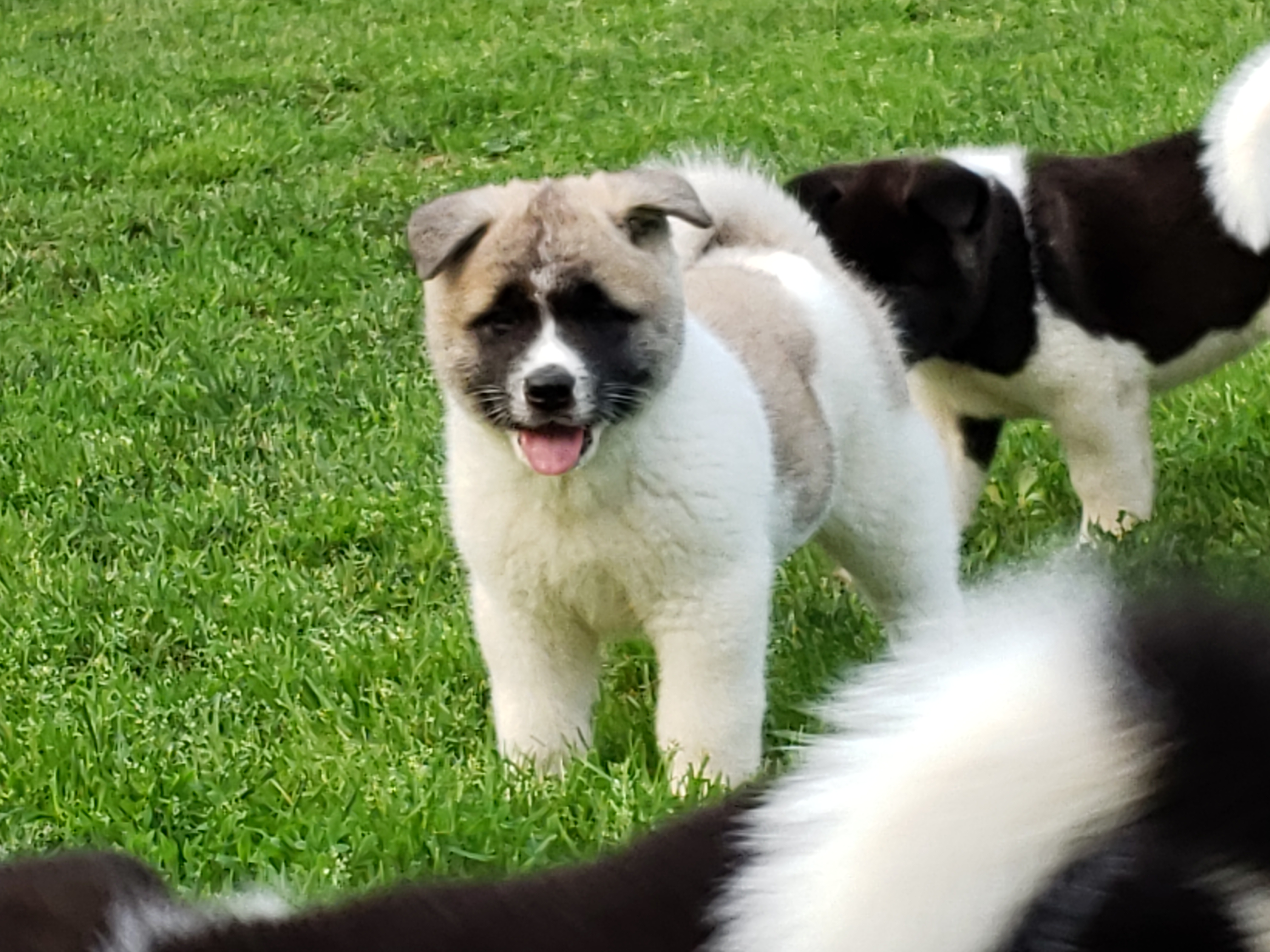 Akita Breeder 30 Yrs Koti Kids New Jersey Quality Puppies Dogs 4sale