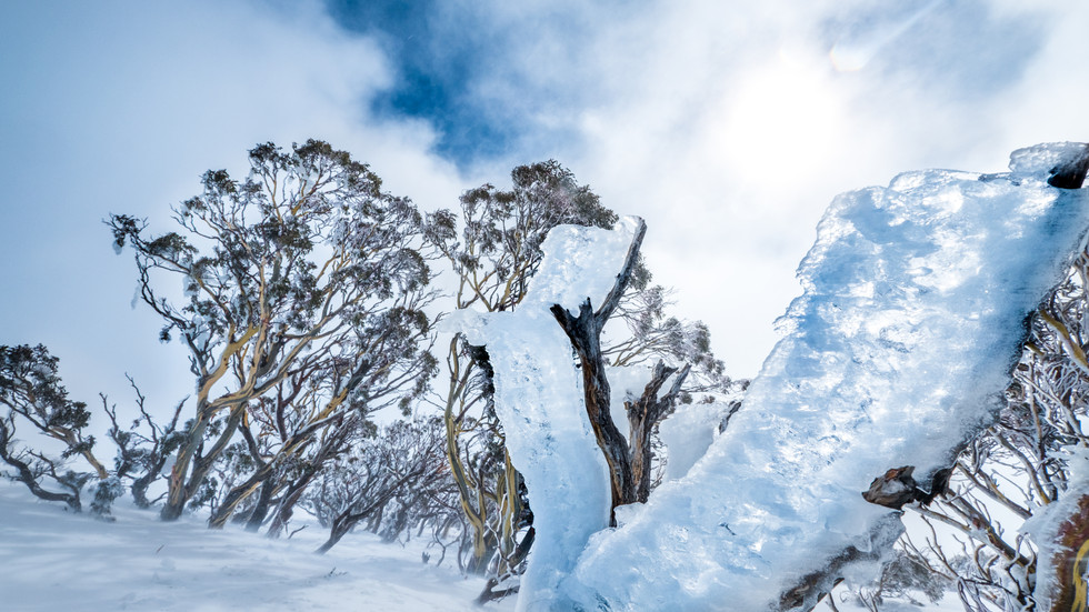 Ice on Snow Gums, Kosciuszko National Park