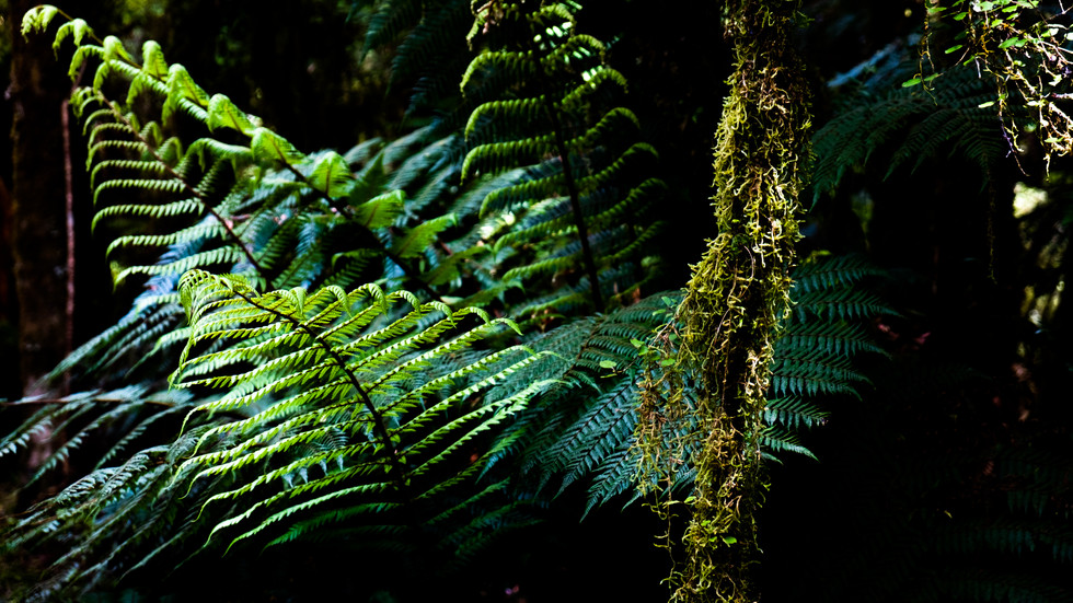 Ferns at Hasst Pass, New Zealand