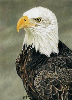 bald eagle colored pencil drawing