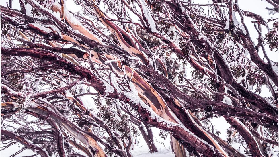 Snowgums, Kosciuszko National Park