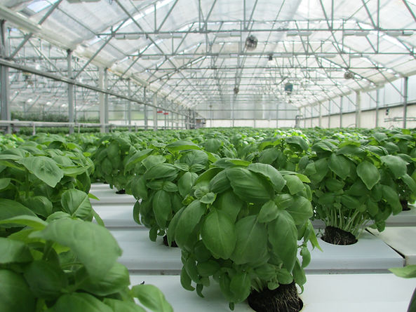 hydroponic grown basil in greenhouse