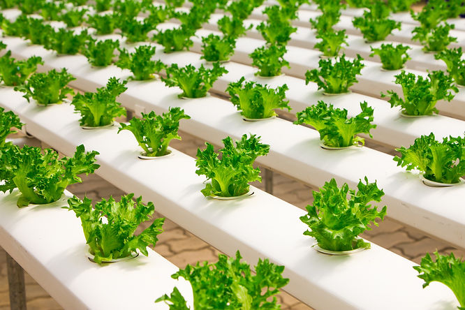 hydroponic grown salad