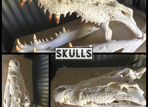 Australian Saltwater Crocodile Skulls