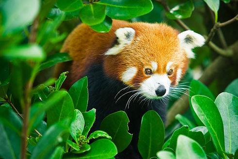 wellington-zoo-red-panda.jpg