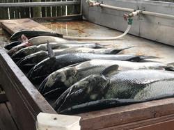 Pile of salmon