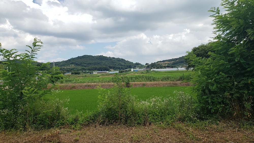 A photograph of Korean landscape with low mountains in the distance, a ricefield in the foreground, and a farm in middle.