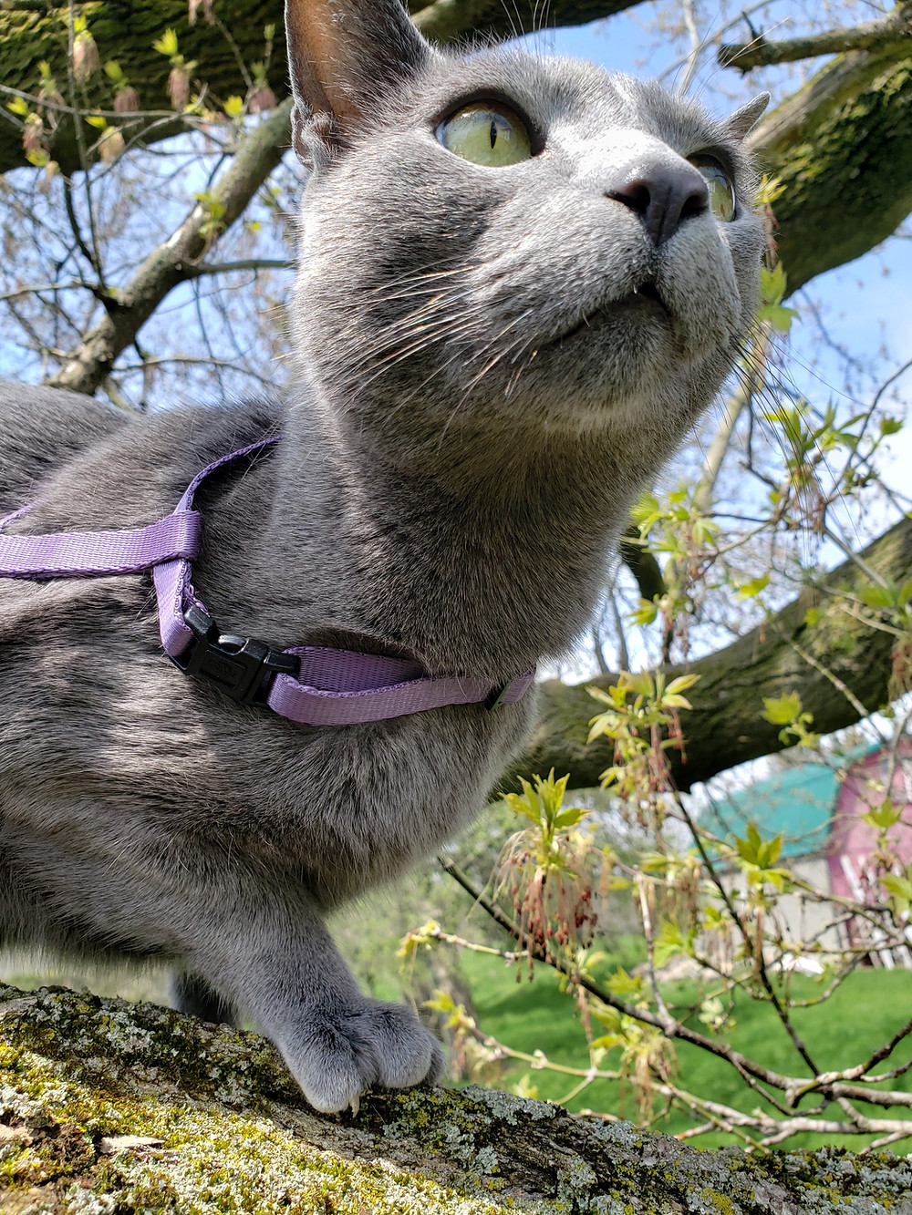 Leon le Chat up in a tree