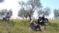 Croqueuses dans champ d'oliviers