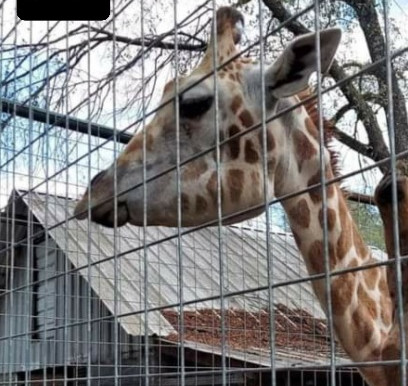 Giraffe neglect at East Texas Zoo and Gator Park