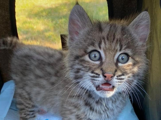 USDA inspector fails to count wildcats at Premier Exotic Cats