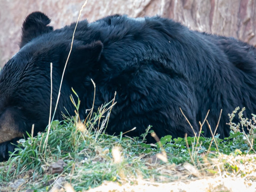Bear euthanized in WI after becoming friendly from being fed by humans