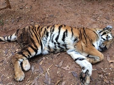 Tiger Creek Animal Sanctuary receives critical USDA violation for the death of 11 big cats